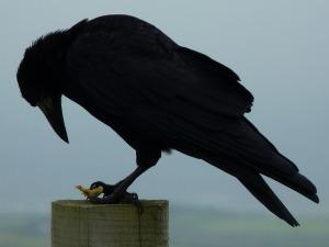 crow-456996_1280-photo-Sweetaholic